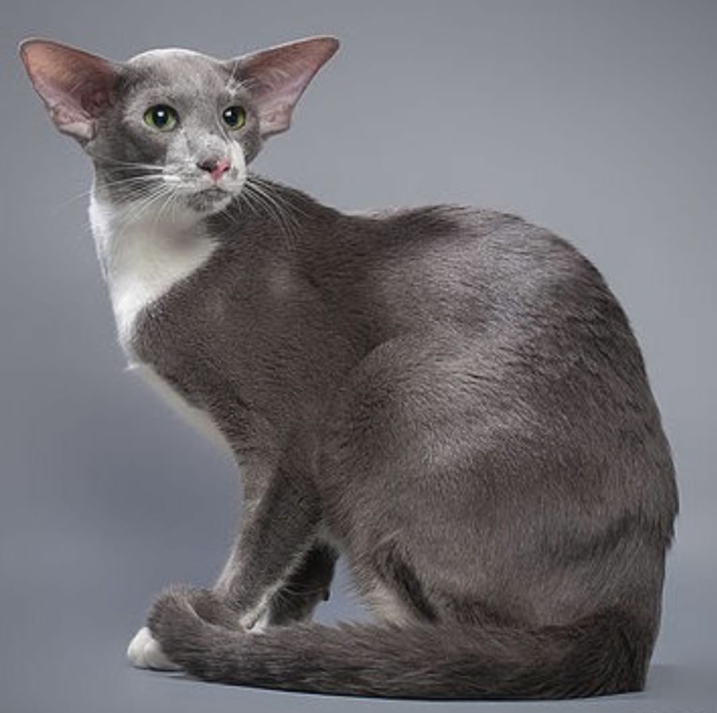 are oriental shorthair cats friendly