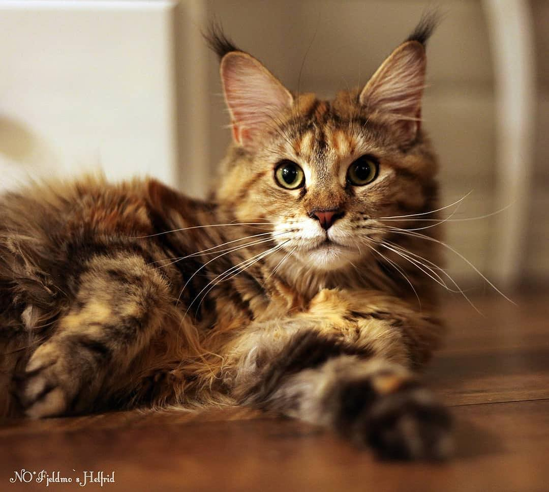 Are Maine Coon cats expensive? - Catman