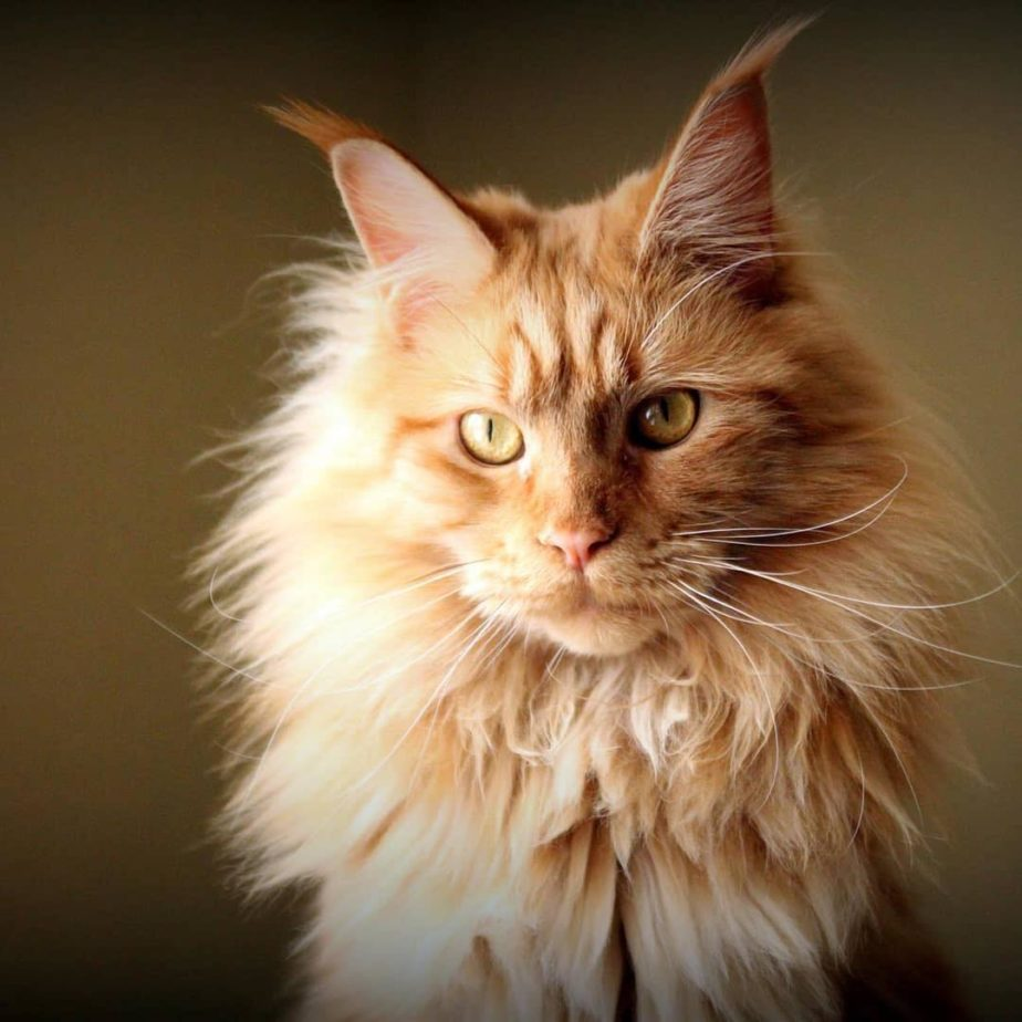 6 Facts you should know about Maine Coon Cats