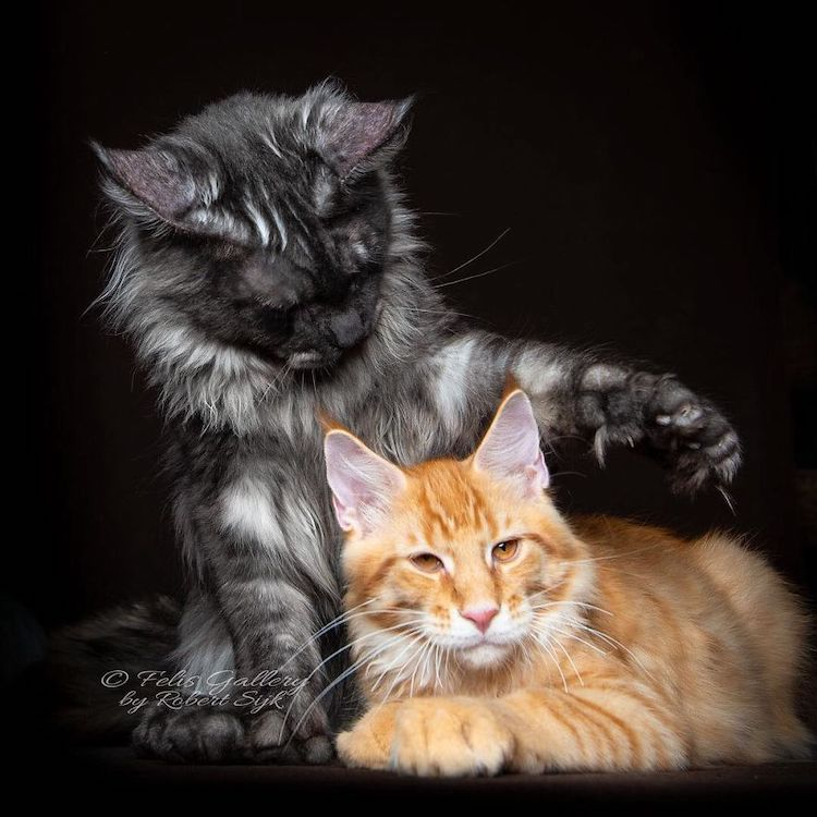 recognize a maine coon