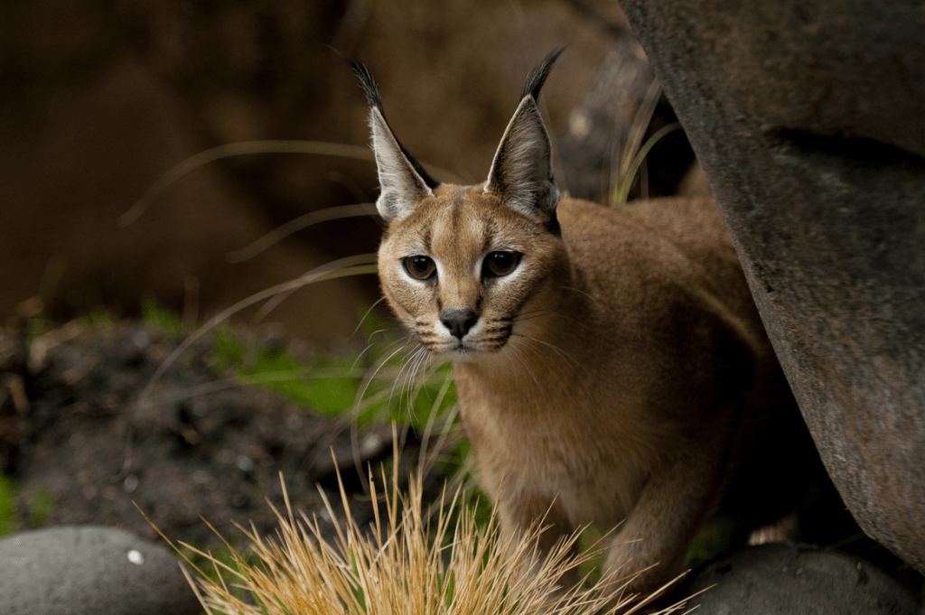 caracal cat pet
