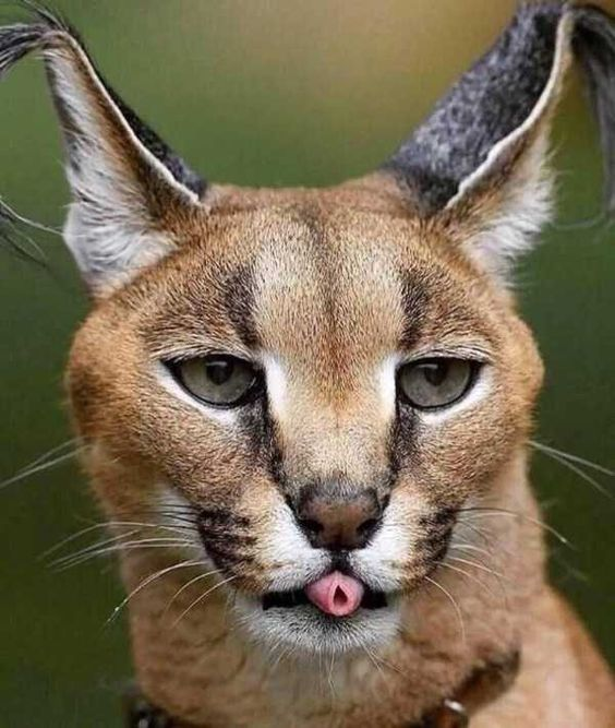 caracal cat pet
