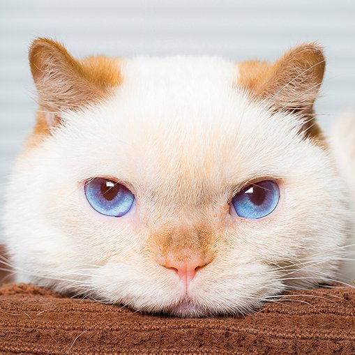 trident the 3-legged cat