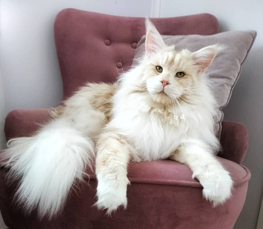 lotus maine coon