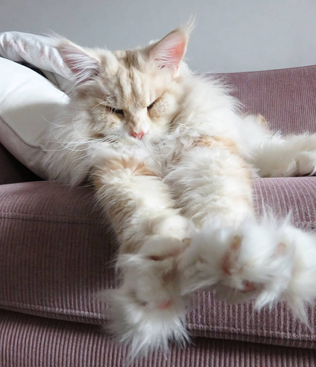 Lotus, Maine Coon - The Most Beautiful Cat on Instagram ...