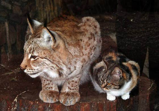 stray cat love lynx
