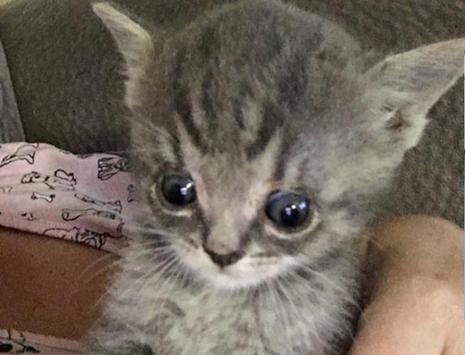 kitten with enlarged head