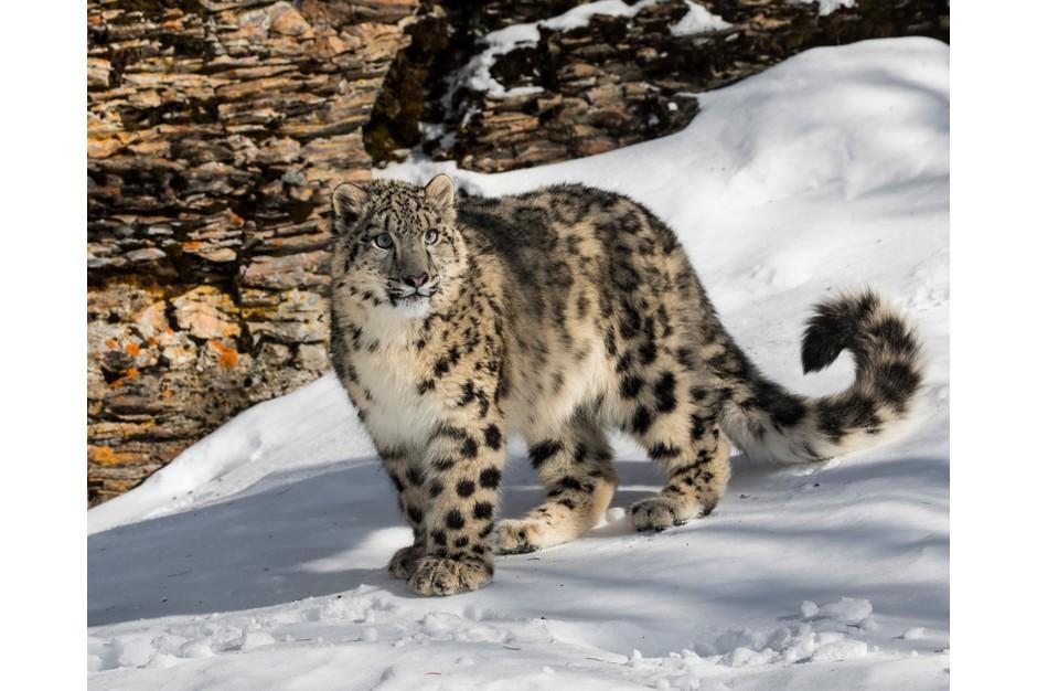 snow leopard endangered