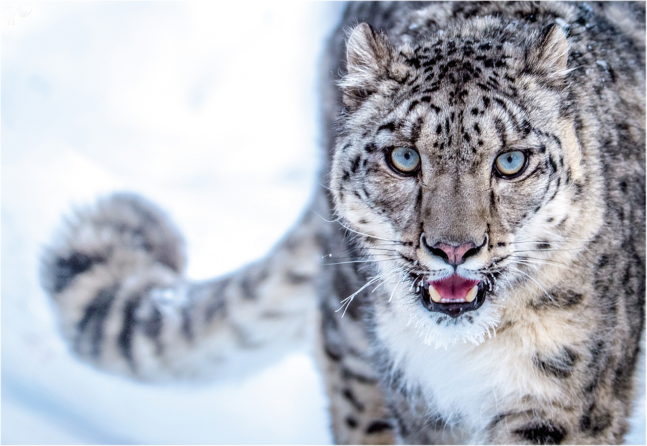 snow leopard endangered