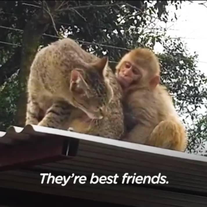 monkey obsessed with her cat