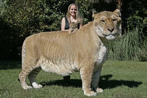 liger the biggest cat