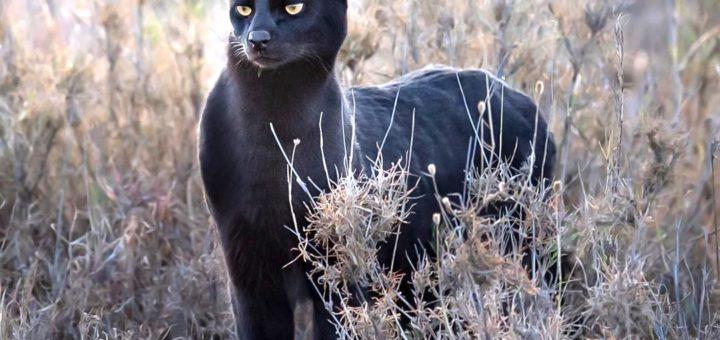 rare black serval cat