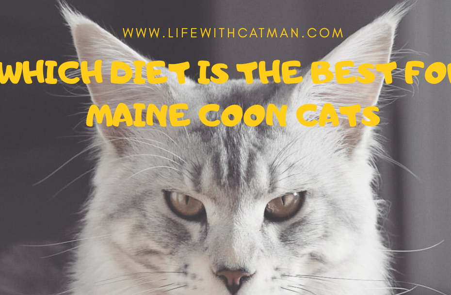 maine coon diet