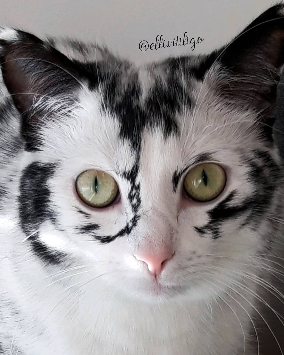 vitiligo cat