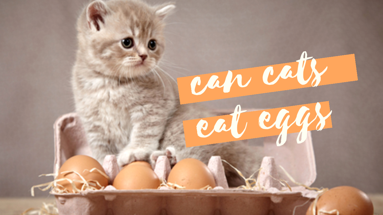 can cats eat eggs