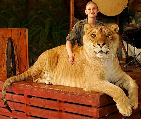 liger the biggest cat