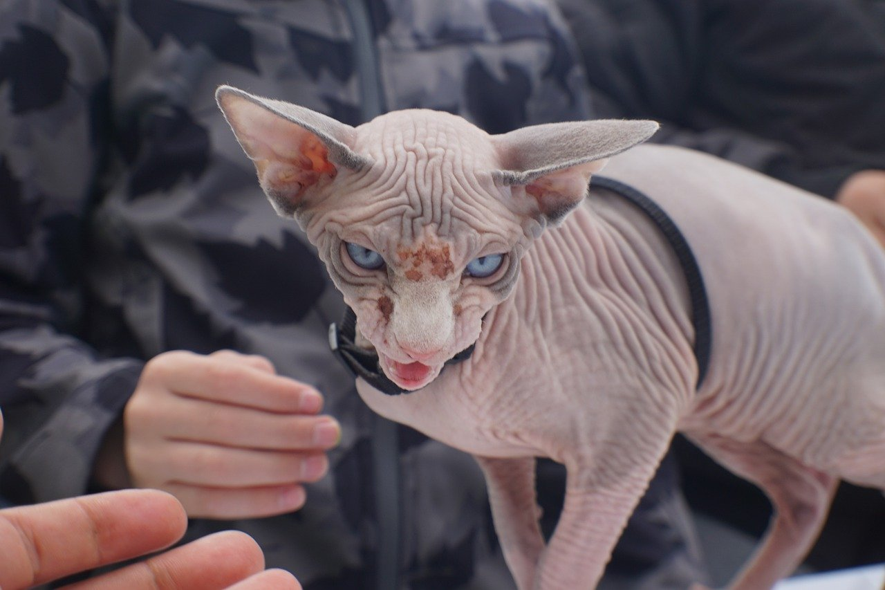cat with no hair